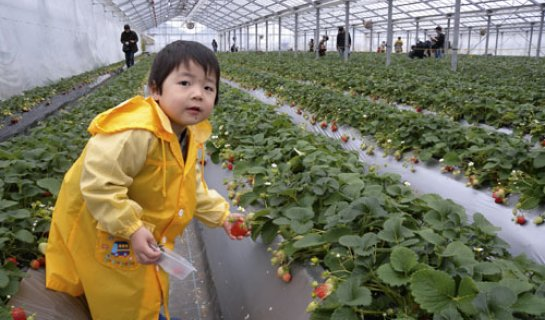 Day Tripper: 'Tis the Season (for Strawberry Picking)