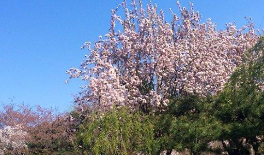 Spring Blossom at Yuyuantan Park
