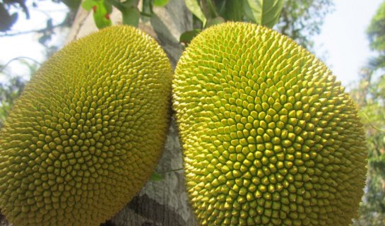 Indulging the Surprising Joys of Jackfruit