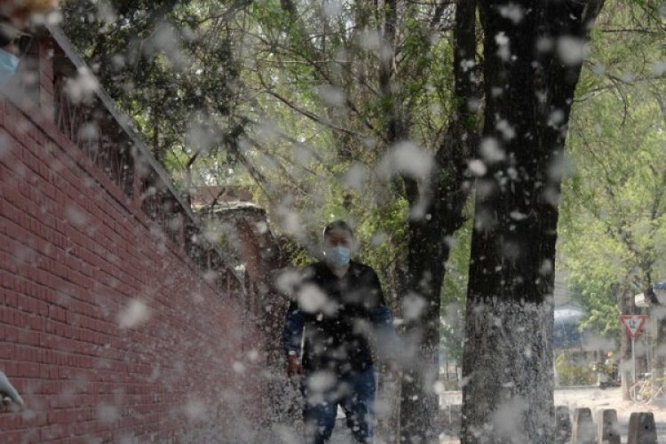 Allergies Begone! Beijing Promises to Fix Its Out-Of-Control Catkins Problem by 2020