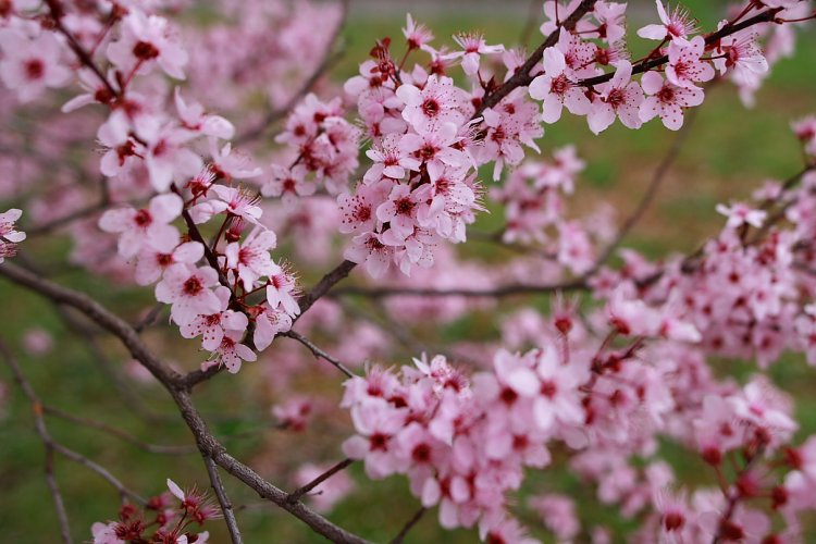 Early Bloomers - Eight of Beijing's must-see spring flowers