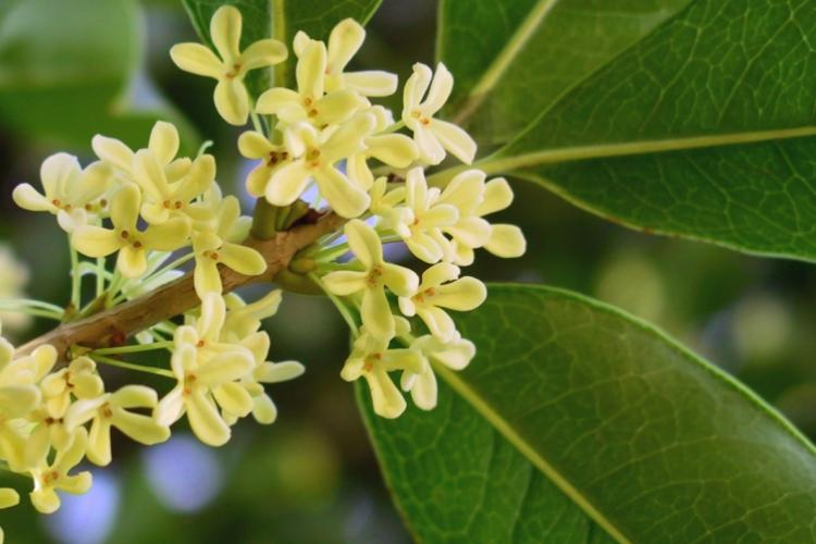 Wokipedia: O is for... Osmanthus, Ou (Lotus Root), Oyster Omelet