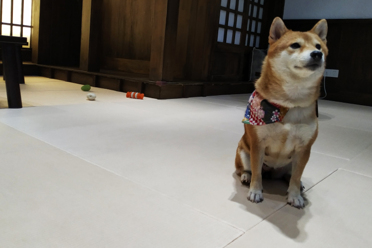 DP Sit Back and Let These Mini-Shibas Heal Your Soul