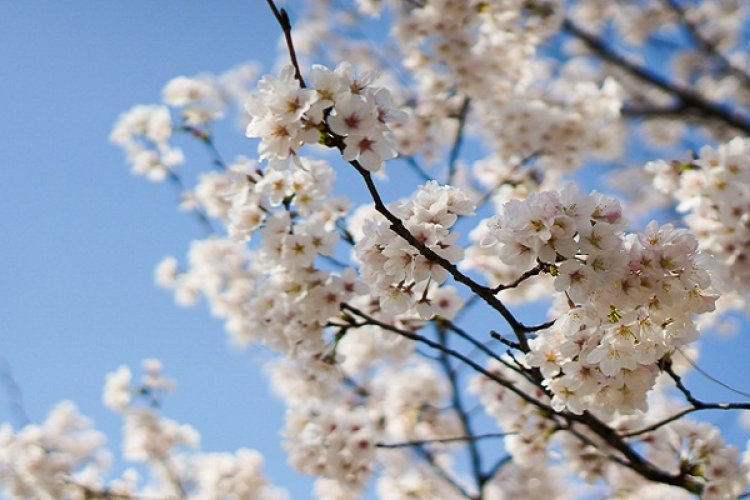 DP Spring's Blooming: Yuyuantan Park Embraces Cherry Blossom Season, Best Time is This Weekend