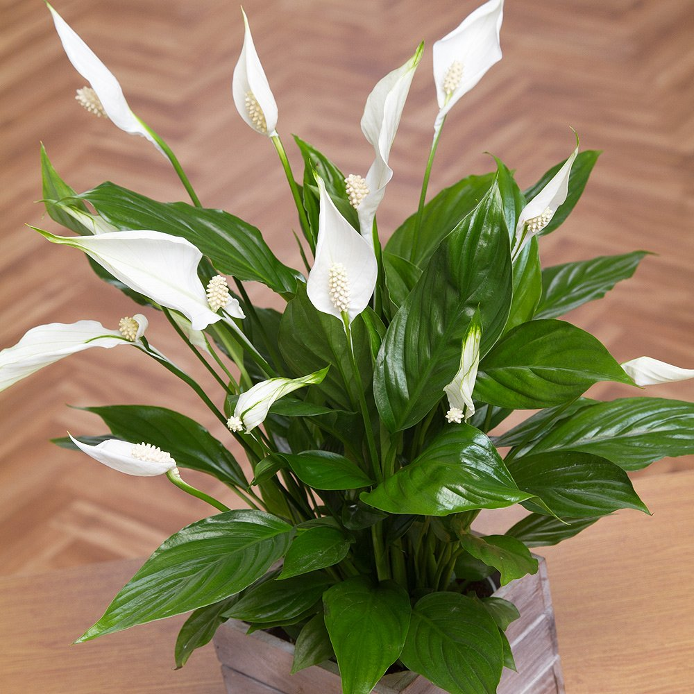 indoor indirect sunlight plants grow indoors the peace lily is compact plant that also conveniently pretty easy to look after it prefers indirect sunlight and unfortunately high mandarin month best indoor plants combat airborne pollution