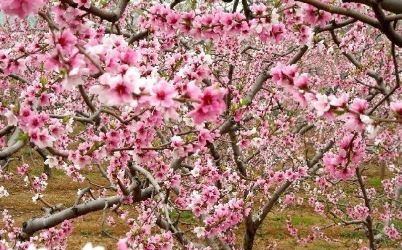 District Tourism Committee Visitors Can Use Details Available At The Official WeChat Page To Plan A Visit Pinggu Peach Blossoms
