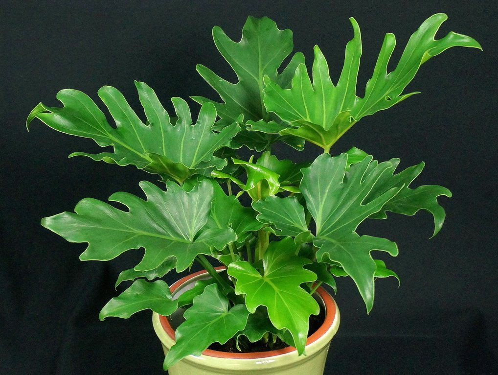 how to look after a peace lily plant