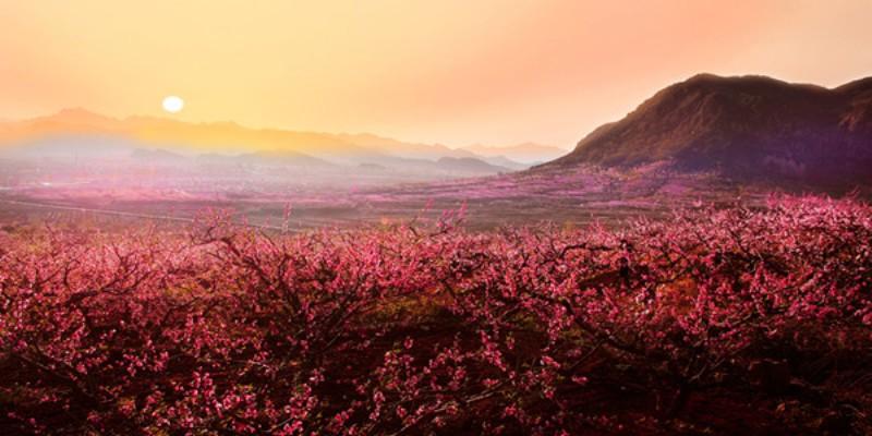 Peach blossom dating site